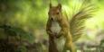 Varšavska veverica